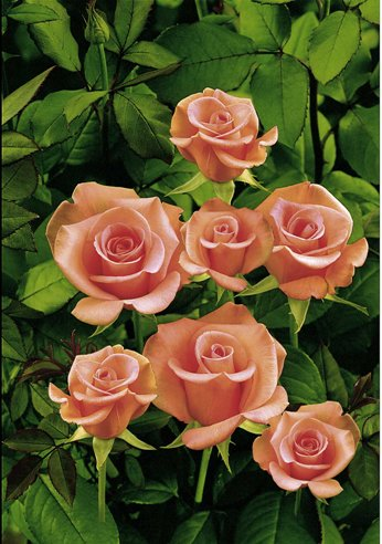 rosaio salmon beauty_b