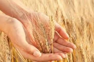 DURUM DAYS  Il 16 e 17 maggio a Foggia l'evento internazionale sul mercato del grano duro