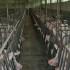 Stalla per maiali: tutte le caratteristiche che una buona stalla deve possedere