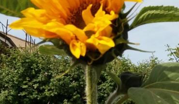 girasole,fiore,primavera