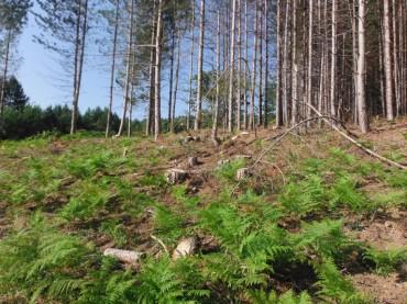 Cotronei, legittimazione terreni: abbattuti illegalmente 464 pini a cotronei