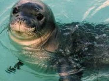 Eccezionale avvistamento di una foca monaca nelle acque del Salento a marina di Tricase