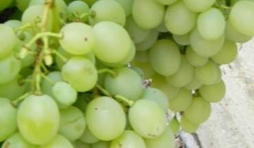 Uva Le proprietà del frutto simbolo d'autunno