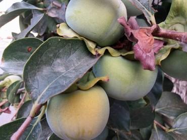 Frutta di stagione Kaki (o Cachi), il pomo dalle sette virtù