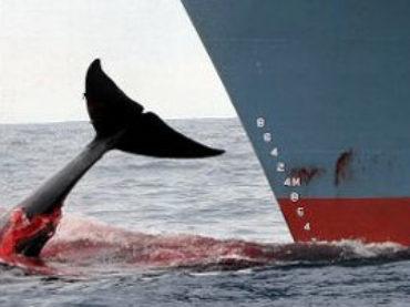 """Caccia alle balene per """"ricerca"""": il Giappone ne uccide oltre 300"""