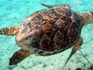 Tartaruga a rischio estinzione morta da alcuni giorni su spiaggia di Torre Rinalda a Lecce