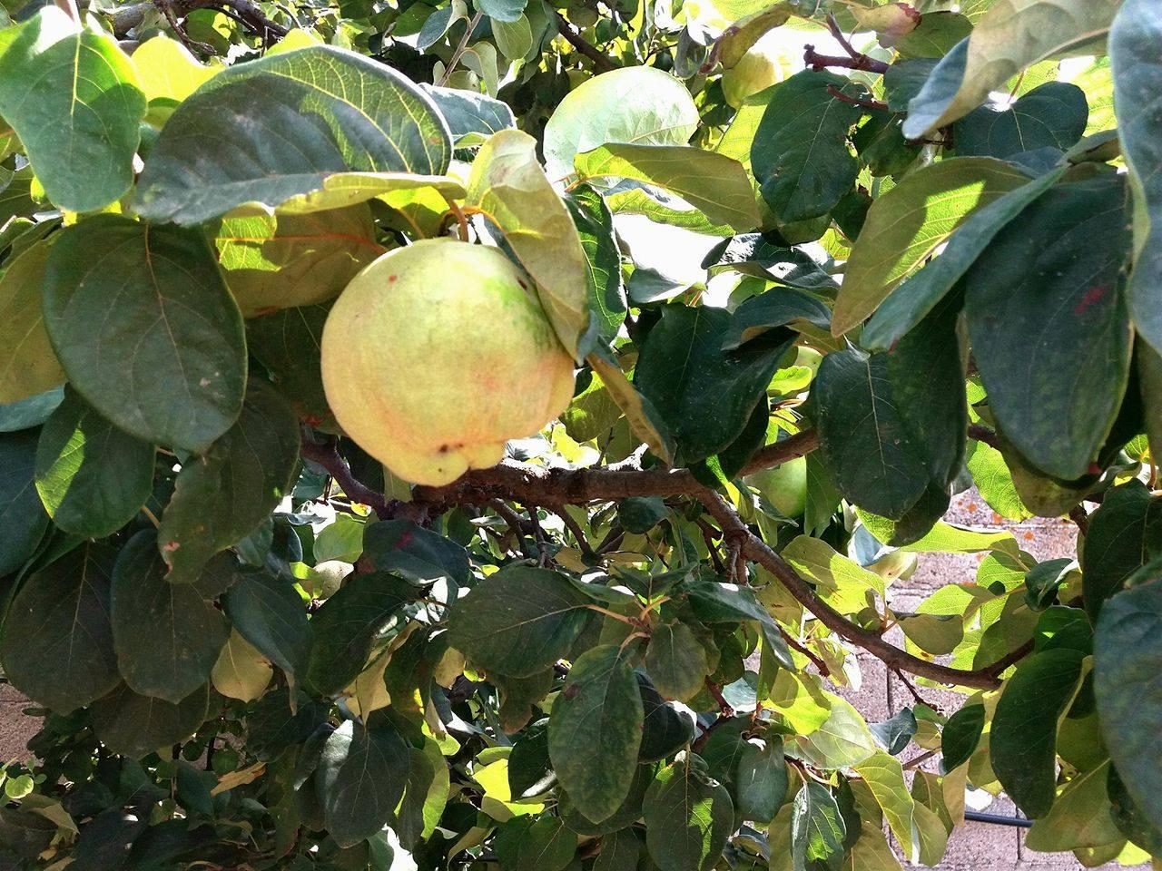 Le mele cotogne profumo d'autunno